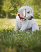 Yellow Lab Posters - Yellow lab puppy in the grass Poster by Diane Diederich