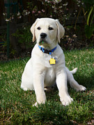 White Dog Prints - Yellow Lab Puppy Standing Guard  Print by Irina Sztukowski