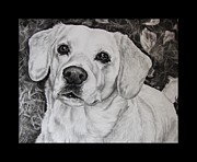 Labrador Retriever Drawings - Yellow Labrador Retriever by Cassandra Gallant