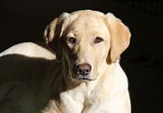 Yellow Labrador Retriever Dog Youth Print by Jennie Marie Schell