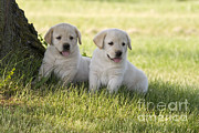 Yellow Labrador Retriever Puppies Print by Linda Freshwaters Arndt