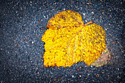 Asphalt Framed Prints - Yellow leaf on ground Framed Print by Silvia Ganora