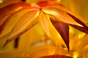 Yellow Leaves At Dawn Print by Deb Halloran