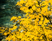 Sonja Quintero - Yellow Leaves by the...