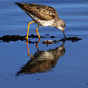 Watson Lake Photos - Yellow Legged Sandpiper by Qing Yang