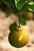Cuisine Photographs Prints - Yellow Lemon Print by Ivete Basso