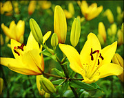 City Scapes Greeting Cards Posters - Yellow Lillies Poster by Carol Toepke