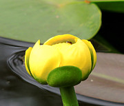 Denise Darby - Yellow Lilly Bud
