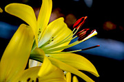 Flower Beds Prints - Yellow Lily Anthers Print by Robert Bales