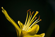 Stamen Digital Art Acrylic Prints - Yellow Lily Acrylic Print by Christina Rollo