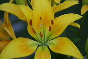 David Simons - Yellow Lily