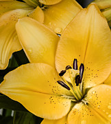 Rain Drops Photos - Yellow Lily by Scott Norris