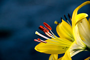 Yellow Lily Stamens Print by Robert Bales
