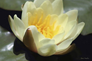 Timeless Design Prints - Yellow Lotus Print by Debra     Vatalaro