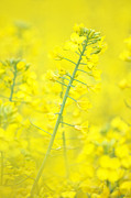 Canola Field Prints - Yellow makes me happy Print by Angela Doelling AD DESIGN Photo and PhotoArt