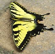 Jennifer Lamanca Kaufman - Yellow Monarch Butterfly