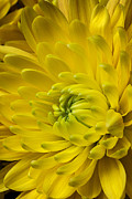Yellow Flowers Posters - Yellow Mum Still Life Poster by Garry Gay