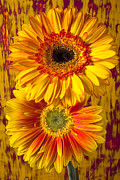 Flowers Gerbera Photos - Yellow mums together by Garry Gay