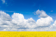Travel Prints - Yellow Mustard Fields Under a Deep Blue Sky Print by Nila Newsom