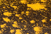 Paint Splash Photos - Yellow Ochre Paint Spill 02 by Rick Piper Photography