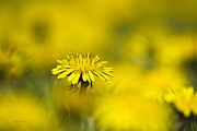 Dof Framed Prints - Yellow On Yellow Dandelion Framed Print by Christina Rollo