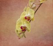 Kim Hojnacki - Yellow Orchid Flower