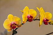Wayne Stabnaw - Yellow Orchid