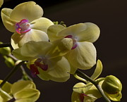 Xcape Photography - Yellow Orchid