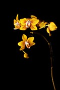 Sparse Art - Yellow orchide by Tommy Hammarsten