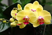 Perrenials Prints - Yellow Orchids 5D22432 Print by Wingsdomain Art and Photography