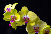 Exotic Metal Prints - Yellow Orchids Metal Print by Garry Gay