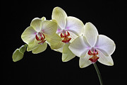 Orchid Photo Prints - Yellow Orchids Print by Juergen Roth