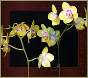 Mindy Newman - Yellow Orchids