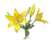 Loop De Loop Posters - Yellow Oriental Lily Poster by Artellus Artworks