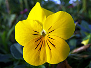 Christopher  Mercer - Yellow Pansy closeup