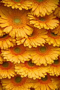 Netherlands Prints - Yellow Peach Gerbera. Amsterdam Flower Market Print by Jenny Rainbow