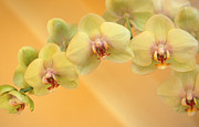 Yellow Photographs Prints - Yellow Phalaenopsis Print by Kathy Yates