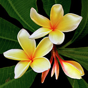 Colorful Photography Digital Art Prints - Yellow Plumeria Print by Ben and Raisa Gertsberg
