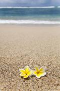 Brandon Tabiolo Prints - Yellow Plumeria Blossoms on  Beach Print by Brandon Tabiolo