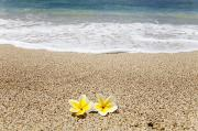 Brandon Tabiolo Prints - Yellow Plumeria Blossoms on Shore Print by Brandon Tabiolo