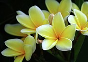 Sabrina L Ryan Metal Prints - Yellow Plumeria Cascade Metal Print by Sabrina L Ryan