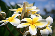 David Lee - Yellow Plumeria