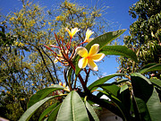 Jaxs Powell - Yellow Plumeria Tree