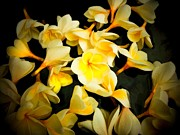 Plumerias Digital Art Prints - Yellow Plumerias Print by Joe Carini