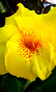 Canna Photos - Yellow Pop by Janice Woodring