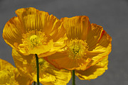 Cindy Manero - Yellow Poppies