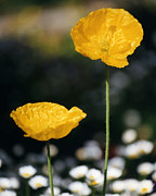 Robert Lozen Posters - Yellow Poppies Poster by Robert Lozen