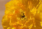 Yellow Poppy Print by Bonita Hensley