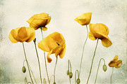 Poppies Prints Metal Prints - Yellow Poppy Photography - Yellow Poppies - Yellow Flowers - Olive Green Yellow Floral Wall Art Metal Print by Amy Tyler