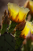 Saija  Lehtonen - Yellow Prickly Pear...
